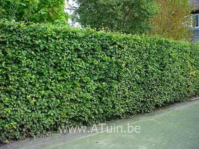 Groene Beuk (Fagus sylvatica)
