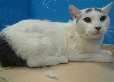 5 year old Lolly needs out of NYCACC NOW!!! TO BE DESTROYED 6/5/13 Brooklyn Center  My name is LOLLY. My Animal ID # is A0776538. I am a spayed female white and gray domestic sh mix. The shelter thinks I am about 5 YEARS old.  I came in the shelter as a OWNER SUR on 05/30/2013 from NY 11411, owner surrender reason stated was ALLERGIES.Fb Rescue, Cat, Female White, Brooklyn Ny, Brooklyn Center, Gray, Feline Rescue, Allergies, Animal