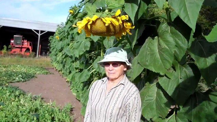 The Minnesota Farm: Russian Mammoth Sunflowers 09-03-12