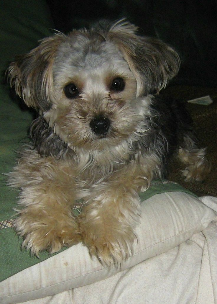 images of yorkie poo 79 best images about yorkie poo love on pinterest 9503