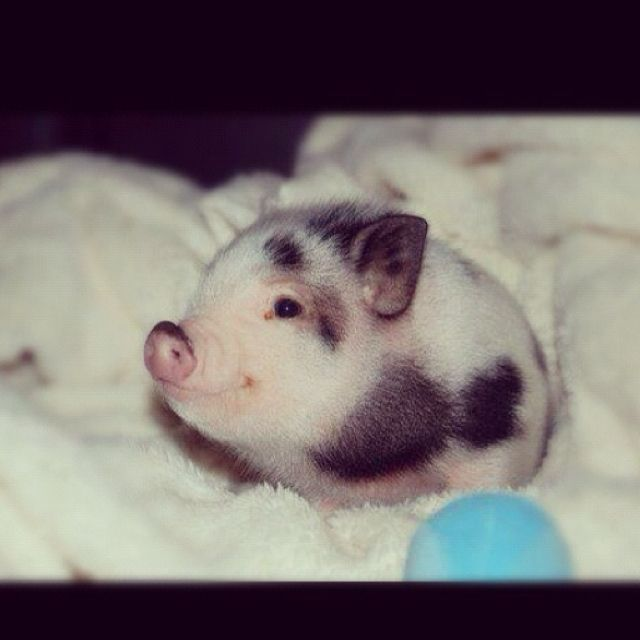 How cute. It would be neat to have a pet pig x: