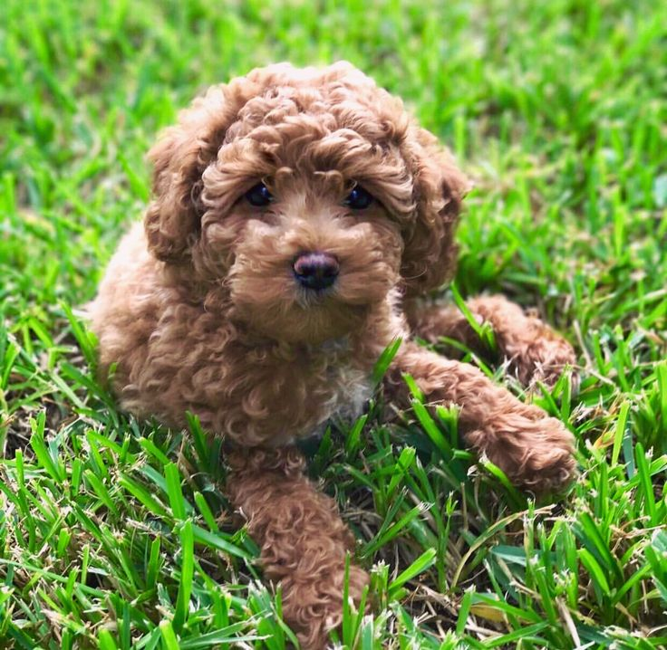 #spring #summer #fall #winter #fashion #diy #puppies #poodle #labradoodle #bernadoodle #mini #standard #medium #red #puppy #cute #adorable #goldendoodle #makeup #hair #home #trending #labradoodle #puppy #food #luxury #travel #dogs #tumblr #photography #celebrity #fitness #love #travel #model #mom #kids #crafts