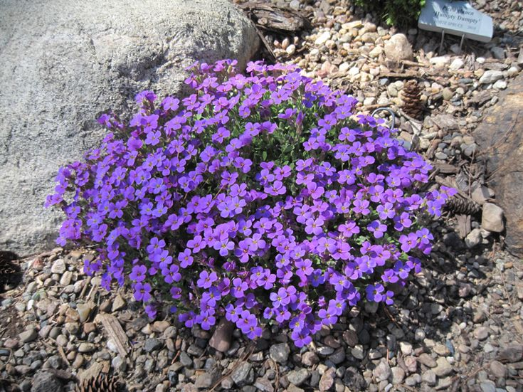 Purple Rock Cress (Aubrieta)