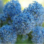 Ceanothus Blue Cushion