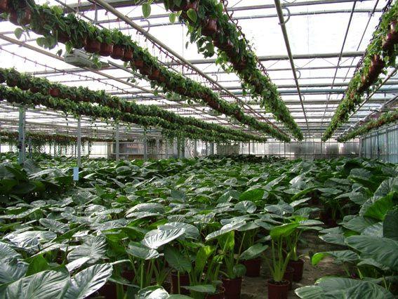 Горшечные растения оптом | Комнатные цветы