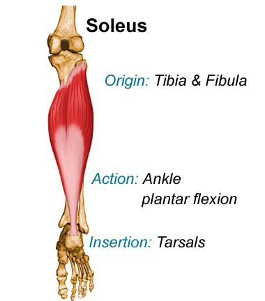 Muscle Exercises Soleus Muscle Exercises