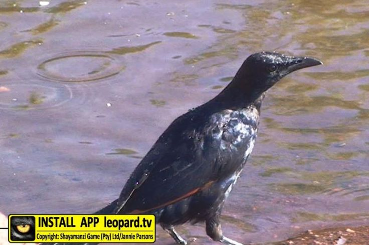 Learn how to identify male and female red-winged starlings! #leopardtv #learning #TBT