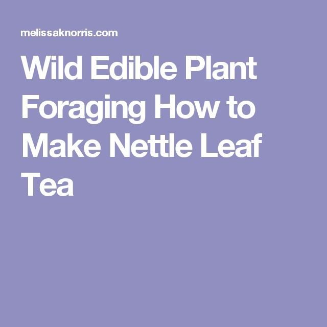 Wild Edible Plant Foraging How to Make Nettle Leaf Tea