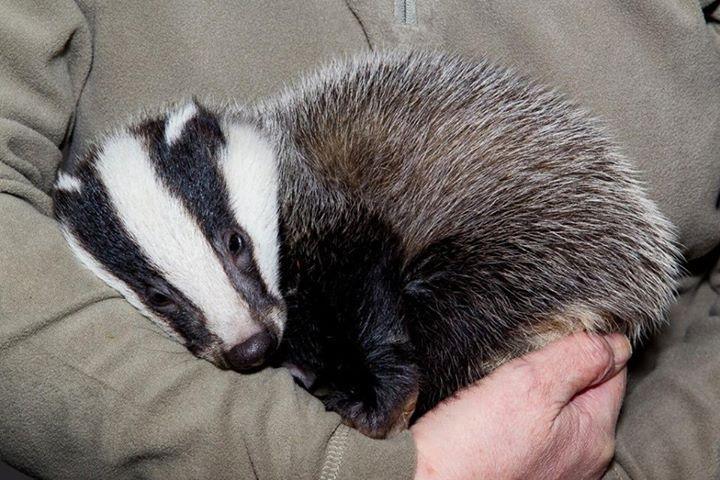 little European Badger