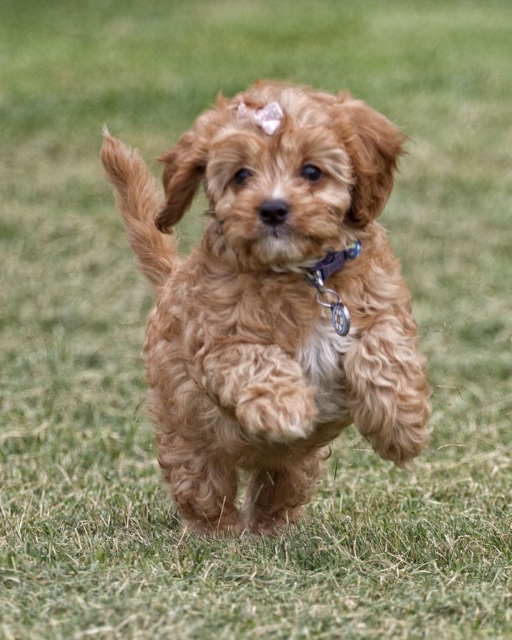 Beautiful Cavapoo puppies for sale Eastern Cape South Africa