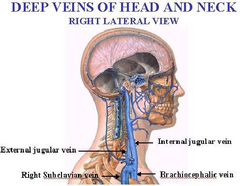 Image Result For Images Deep Veins Of Neck