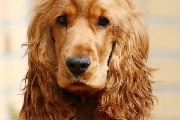 Cocker anglais - Top 10 des races de chien de petite taille - C'est un chien qui réclame beaucoup d'affection et de présence de la part de ses maîtres, il déteste la solitude.  Chien devenu célèbre avec la bande dessinée « Boule et Bill », attendrissant avec ses longues oreilles, il est à l'origine un chien de chasse confirmé. Il a donc besoin de beaucoup d'exercices.