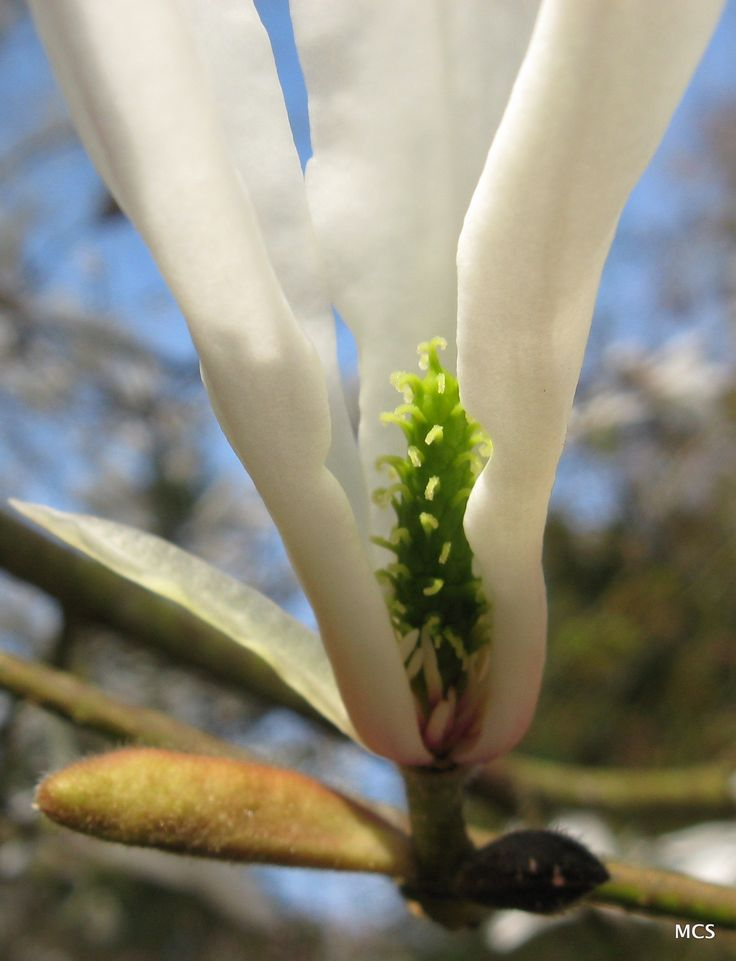 Close-up of the Magnolia salicifolia (willow-leaved magnolia) flower.  5th April 2009