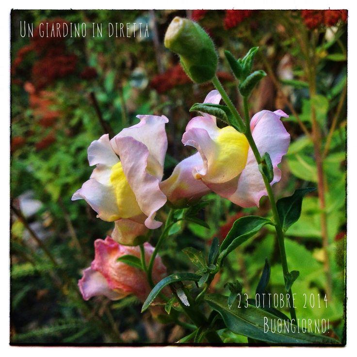 In diretta dal giardino: Bocca di leone (Antirrhinum majus), buongiorno giardinieri! #giardino #giardinoindiretta #buongiorno #fiori