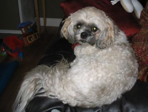Date Listed 26-Jun-13 Price Please contact Address COUNTY OF GRANDE PRAIRIE NO. 1, AB T8X 0G4, Canada  View map Lost bichon shihtzu - June 25th in Carriage Lane. 7808976560