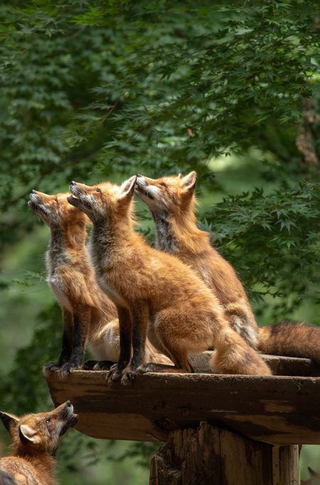 Red Foxes by Koki Ueno – National Geographic Your Shot – Carmen .