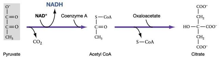 Glycolysis -- The Conversion of Pyruvate to Acetyl CoA for Entry Into the Krebs Cycle