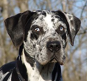 COAHOMA CATAHOULAS***Louisiana Catahoula Leopard Dog