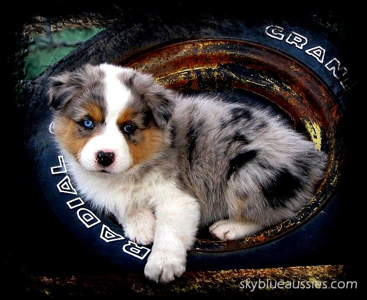 Blue Merle Australian Shepherd -  raised by www.skyblueaussies.com - new puppies are on the way for spring!