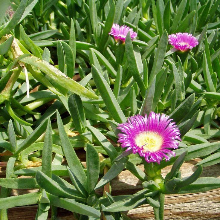 CARPOBROTUS rossii