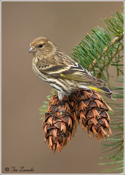 Pine Siskin (Carduelis pinus) - A small, dark, heavily streaked finch with a deeply notched tail and sharply pointed beak. The touch of yellow - in the wings and on the base of the tail -  is not always evident.