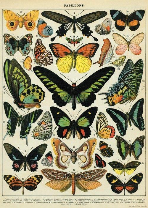 Butterflies Scientific Illustration