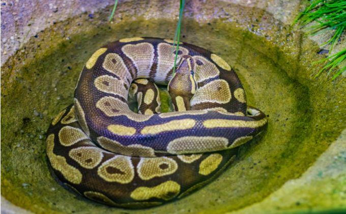 ボールパイソンの生態と特徴 飼育方法について紹介 おすすめのケージや飼育環境の作り方は Woriver ボールパイソン ヘビ コーン スネーク