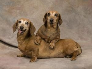Tina and Shania is an adoptable Dachshund Dog in Sioux Falls, SD. You can fill out an adoption application online on our official website. Are you looking for companionship? We are companionship times...