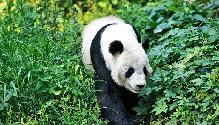 Fragmented habitat threatens giant pandas - Futurity  ||  Giant pandas are no longer on the endangered species list, but their habitat suggests it's not all good news for the bears. http://www.futurity.org/giant-panda-habitat-1559252/?utm_campaign=crowdfire&utm_content=crowdfire&utm_medium=social&utm_source=pinterest