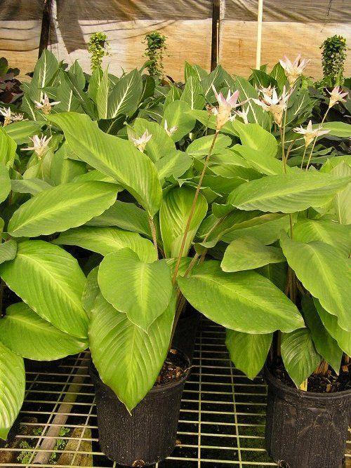 94 besten calathea ctenanthe maranta bilder auf pinterest tropische pflanzen exotische. Black Bedroom Furniture Sets. Home Design Ideas