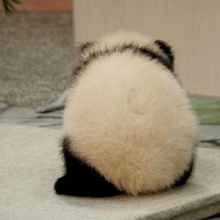 いいね!98件、コメント9件 ― なつさん(@_natsu_panda_)のInstagramアカウント: 「モンスターボール、では、ない。 #ジャイアントパンダ #パンダ #giantpanda #panda #アドベンチャーワールド #adventureworld 20150417」