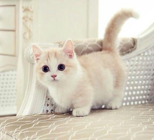 """Munchkin kitten. Maybe I should put this in my """"want"""" board instead? (≧∇≦)"""