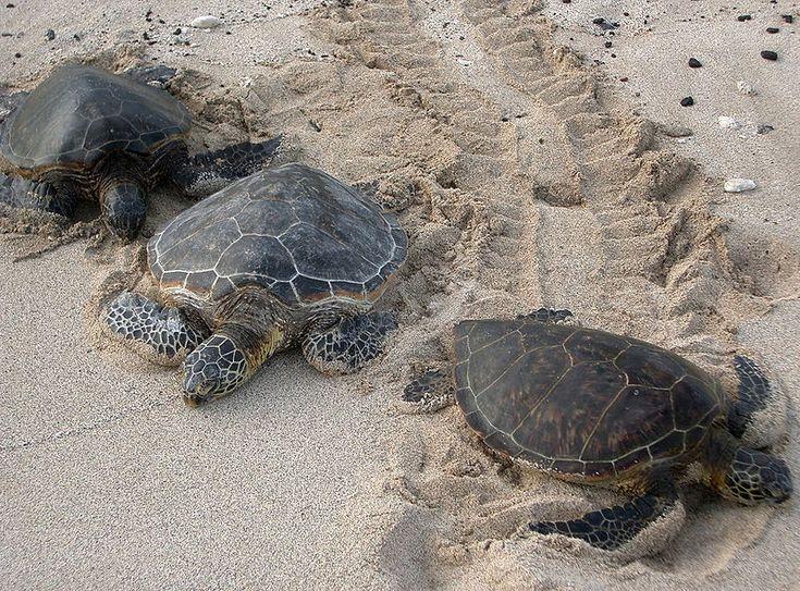Three Kona sea turtles - Zeeschildpadden -  (Chelonia mydas)