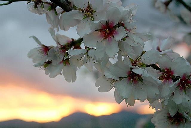 Almendro en flor, Mallorca