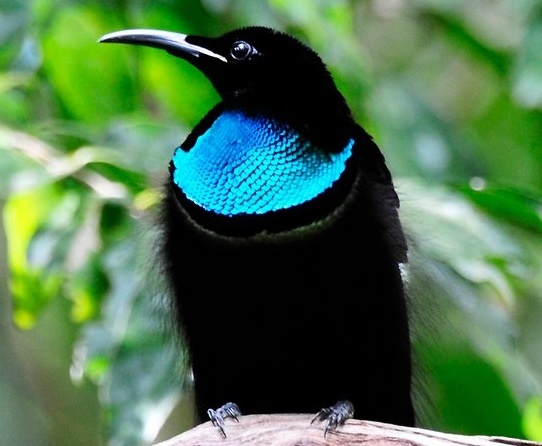 MAGNIFICENT RIFLEBIRD | Birds | Pinterest | Bird ...
