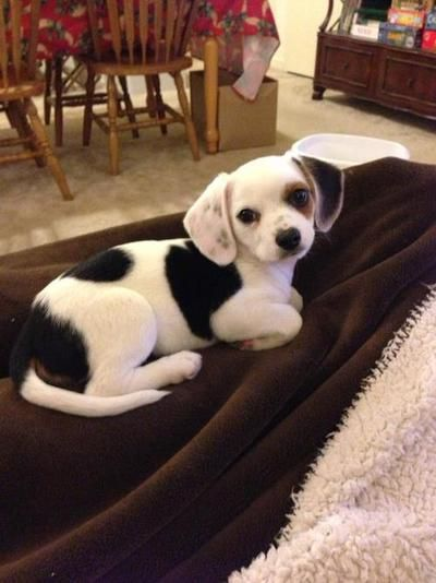 joanhollowayharris:  she's a cheagle.. beagle/chihuahua mix  i'm going to cry
