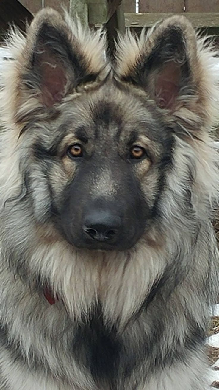 Die Besten 25 Kaukasischer Sch 228 Ferhund Ideen Auf