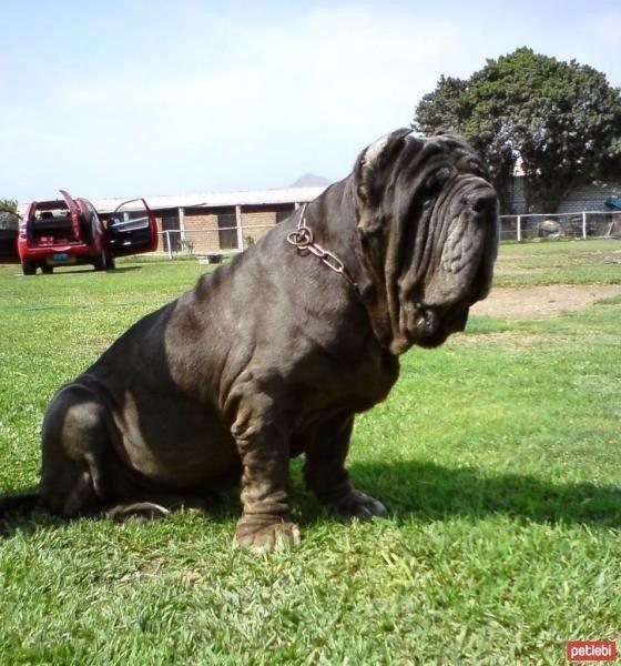 Napoliten Mastiff hakkında detaylı bilgiler