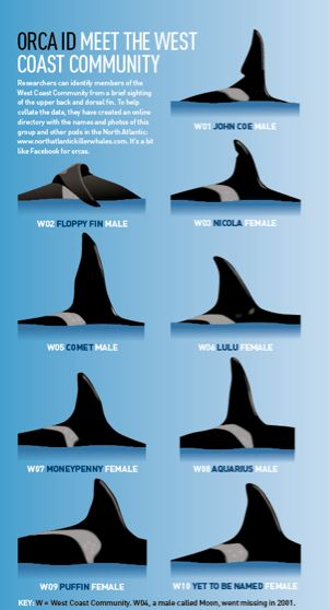 Orca ID of West Coast. Keep safe, swim free! <3