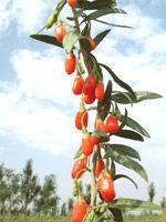 Tipps zum pflanzen und Anbau von Goji Beeren