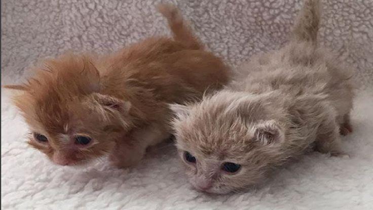 Cute Foster Kitten Meowing - Little kittens meowing and talking | Cute C...