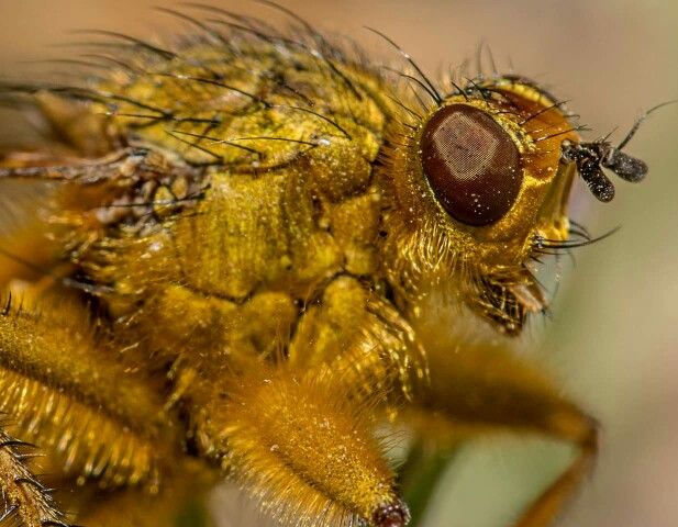 Dung fly giving me the stink eye Nikon d 7100 sigma 105mm f 19 1 / 250s iso 100