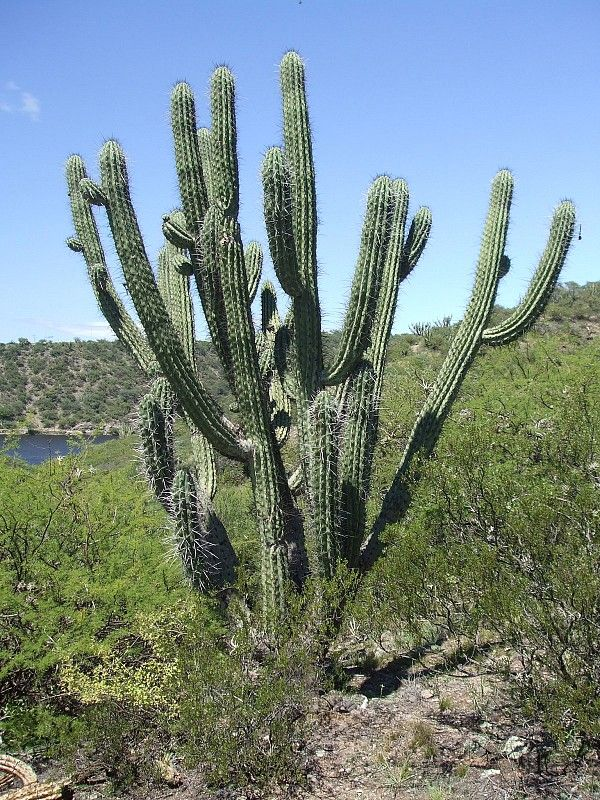 107 best cereus images on pinterest cacti succulents for Cactus argentina