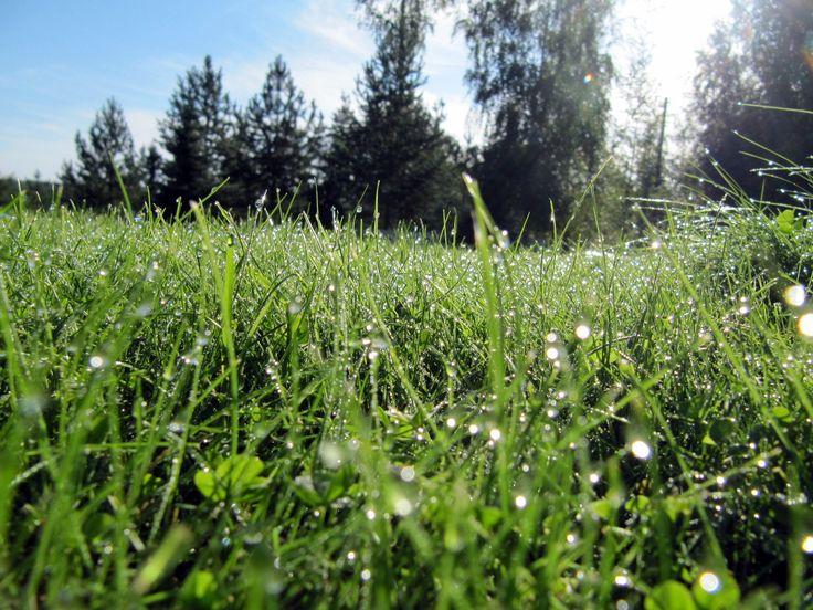 morning dewy lawn - aamukasteinen nurmikko