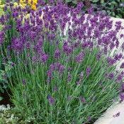 Lavender Munstead Purple