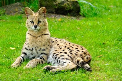 serval cat pet serval cats are medium size cats from
