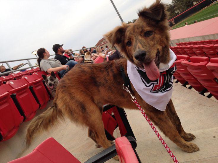 Dog day in Texas tech softball game. koda