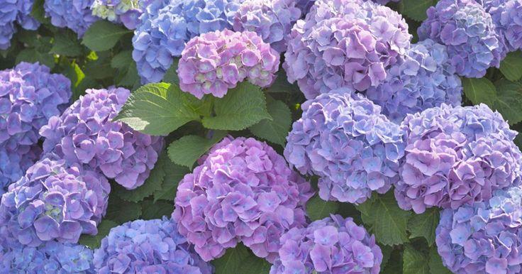 Wenn Ihre Hortensie trotz intensiver Pflege im Sommer keine Blüten trägt, kann das verschiedene Ursachen haben. So gehen Sie dem Problem auf den Grund.