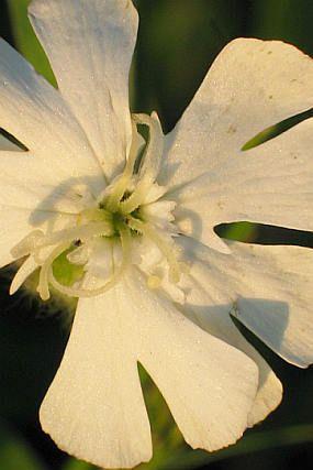 Silene latifolia subsp. alba