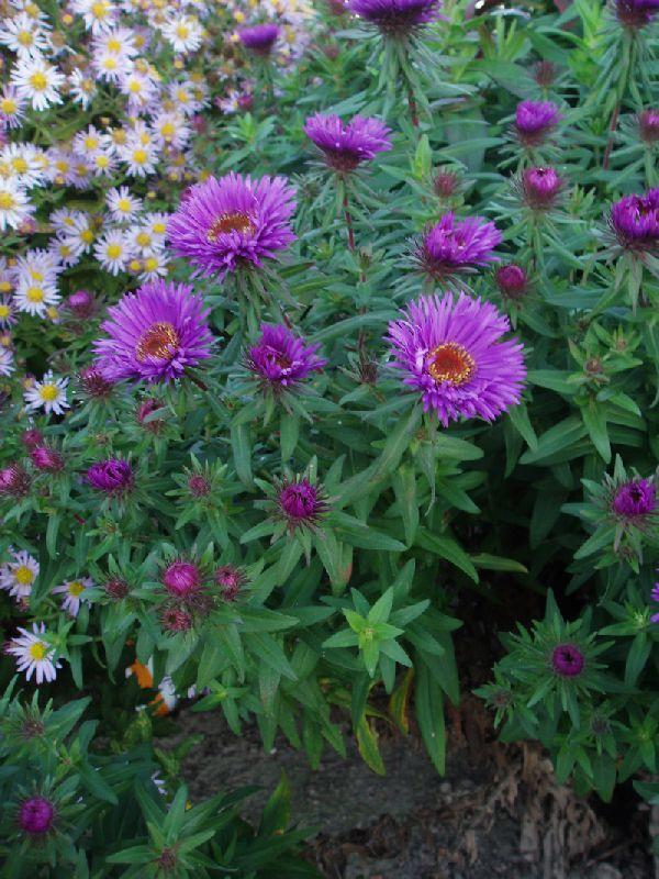 ASTER novae-angliae 'Purple Dome' - Høstasters/Strandasters, farve: lilla/halvfyldt, lysforhold: sol, højde: 50 cm, blomstring: september - oktober, god til bier og andre insekter, velegnet til snit.